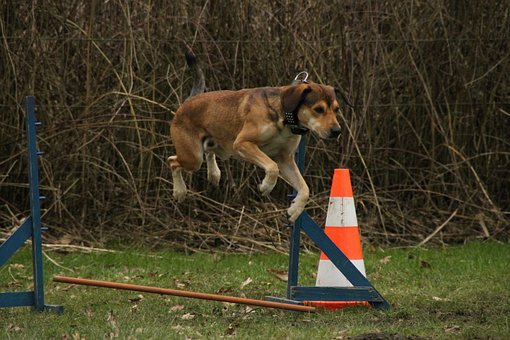 Dog, Jump, Exercise, Dog Exercise, Agile