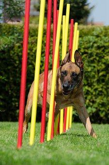 Agility, Slalom, Malinois, Hundesport, Fun, Sport, Dog