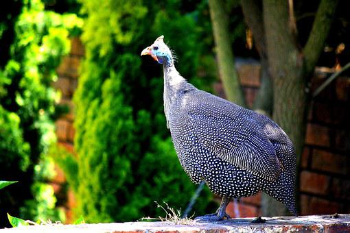 Guinea Fowl, Animal, Plumage, Chicken, Grey, Points