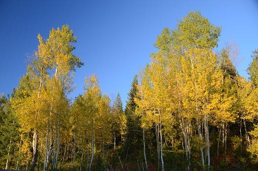 Aspen, Aspen Trees, Color Change, Autumn, Fall, Trees