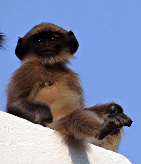 Monkey, Baby, Langur, Hanuman Langur