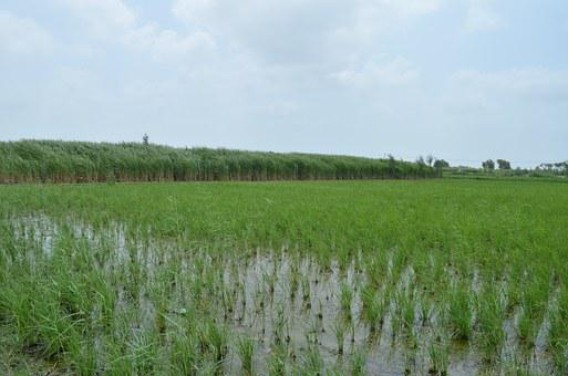 Rice Field, Crop, Agriculture, Cane, Grass, Farming