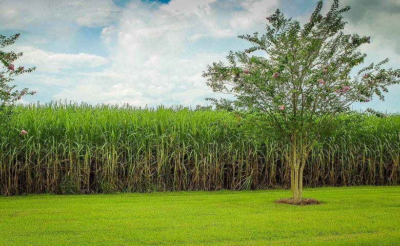 Sugarcane, Cane Field, Raw Sugar, Crop, Agriculture