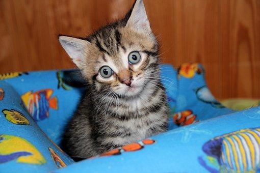 Cat, Kitten, Pet, Animals, Cute, Cat's Eye, Cat Eyes
