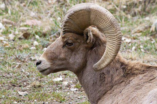 Big Horn Sheep, Colorado, Animal, Wildlife, Sheep