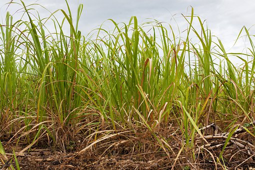 Agriculture, Sugar Cane, Crop, Farming, Field, Grass