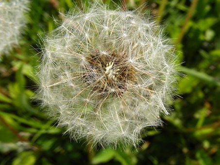 Blow, Dandelion, Flowers, Fruits, Officinale, Ripe