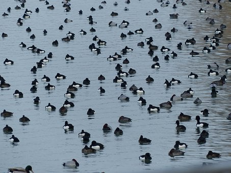 Tufted Duck, Ducks, Waterfowl, Group, Water, Lake