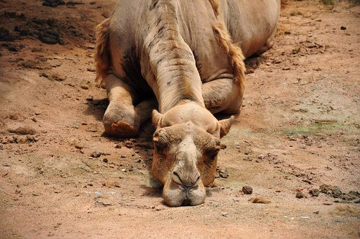 Camel, Bored, Dusty, Boredom, Desert, Head, Watching
