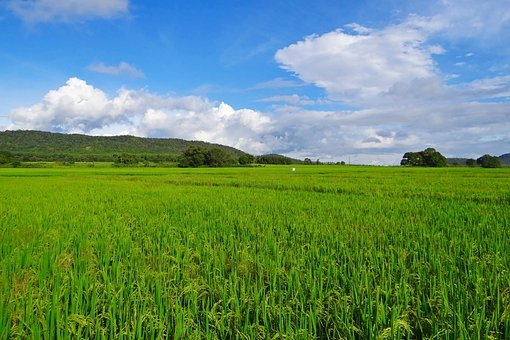 Rice, Paddy, Cultivation, Agriculture, Crop, Farmland