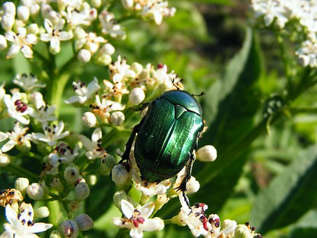 Green, Bugs, Insects, Fly, Flies, Flowers, Blossoms