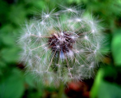 Dandelion, Seed, Head, White, Tufts, Fluffy, Delicate