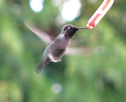 Hummingbirds, Birds, Feeding, Eating, Flying, Flight