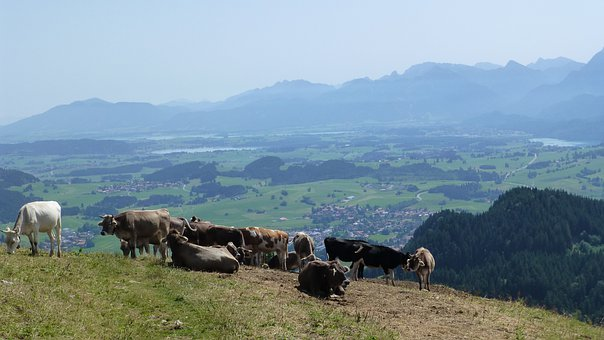 Allgäu, Sun, Cows, Alpe, Lake Forggensee, Lake