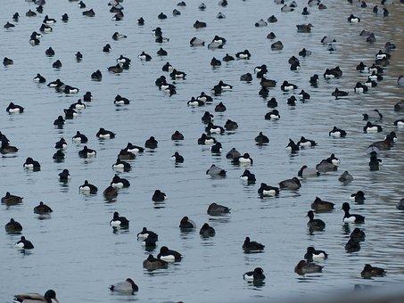 Tufted Duck, Ducks, Waterfowl, Group, Water, Lake