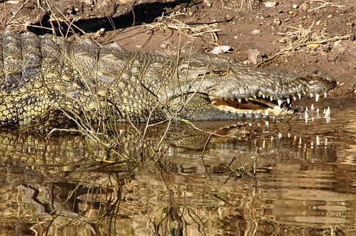 Crocodile, Lizard, Reptile, River, Tooth, Dangerous