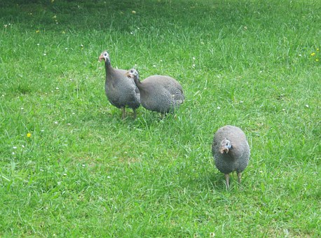 Guinea Fowl, Meadow, Peck, Free Running