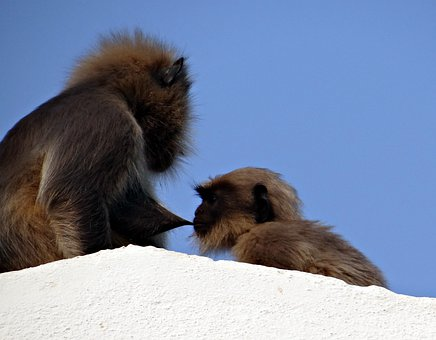Monkey, Mom, Suckling, Baby, Langur, Hanuman Langur