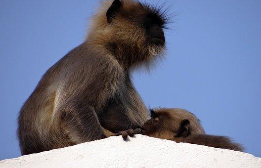 Monkey, Mom, Baby, Sucking Langur, Hanuman Langur