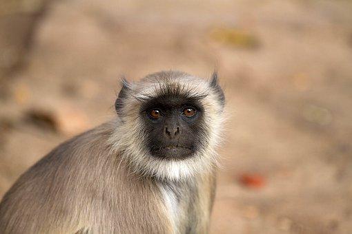 Monkey, India, Hanuman Langur, Gray Langur