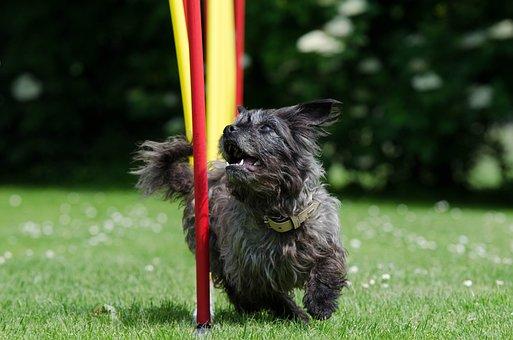 Hybrid, Slalom, Agility, Small Dog, Cute, Dog, Pet