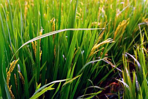 Wheat, Rice, Agriculture, It's Raining, Dew