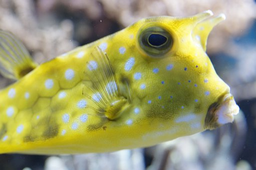 Boxfish, Underwater, Fish, Sea, Ocean, Water, Swim