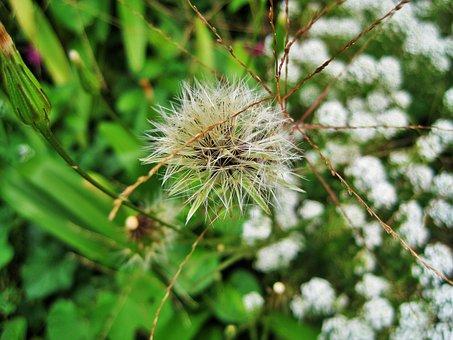 Dandelion Seed Head, Dandelion, Seed, Tuft, White