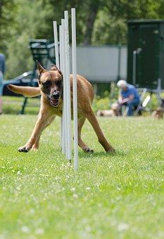 Slalom, Agility, Malinois, Attention, Hundesport