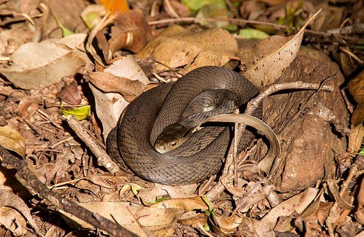 Rough Scaled Snake, Australia, Queensland, Snake, Skin