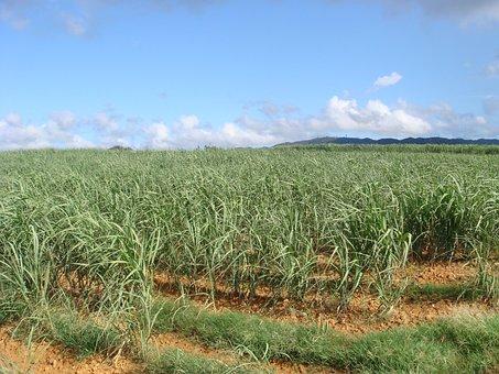 Sugar Cane Fields, Okinawa, Summer