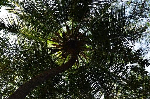 Coconut Tree, Palm Tree, Palm, Plant, India, Sunshade