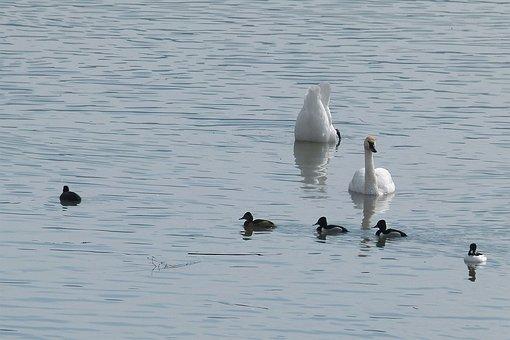 Tufted Ducks, Swans, Wild Duck, White Swan, Birds
