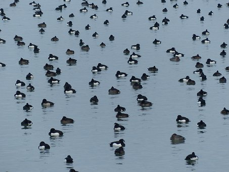 Ducks, Waterfowl, Water, Lake, Tufted Duck