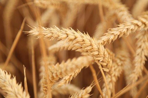 Wheat, Sunset, Harvest, Fruit Fact, 飽 Full