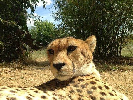 Cheetahs, Cheetah, Animals, Predator, Cat, Feline