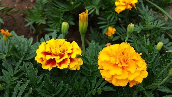 Marigold, Flowers, Yellow, Blossom, Blooming, Garden