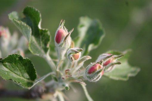 Apple, Boskoop, Blossom, Bloom, Red