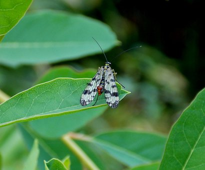 Communis, Male Scorpionfly, Insect, Flying Insects