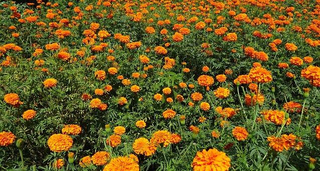 Flower, Marigold, Orange, Field, Plant, Bloom, Flora