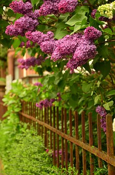 Lilac, Fence, Flowers, Lilac Tree, Iron, Garden, Rusted