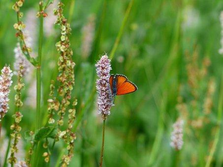 Large Copper, Butterfly, Red, Orange, Lycaena Dispar