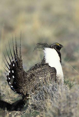 Urophasianus, Centrocerus, Head, Male, Bird, Sage