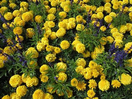 Flower, Marigold, Yellow, Butchart Gardens
