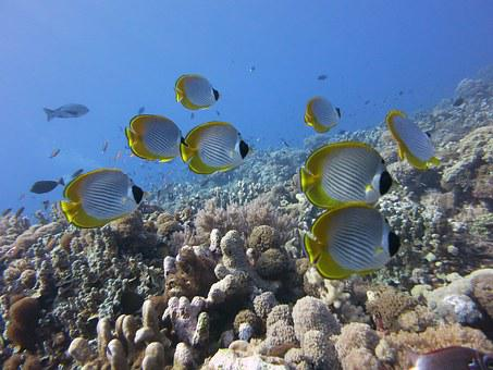 Butterflyfish, Panda Butterflyfish, Coral, Reef, Nature
