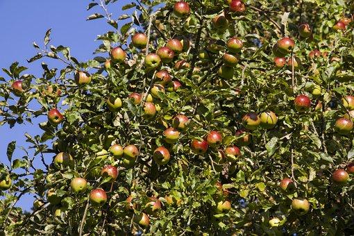 Boskoop, Apple Tree, Apple, Fruit, Red, Healthy