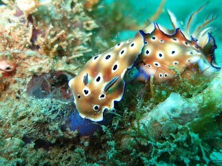 Chromodoris, Nudibranch, Slug, Sea Slug