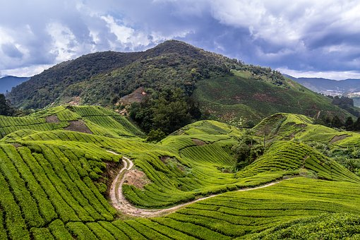 Malaysia, Tea Plantation, Travel, Cameron Highlands