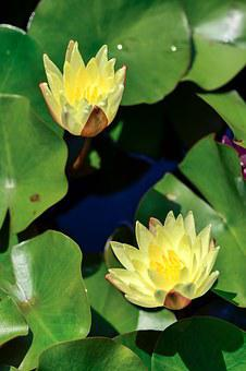Natural, Plant, Flowers, Water Lily