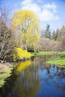 Spring, Forsythia, Creek, Reflection, Yellow, Foliage